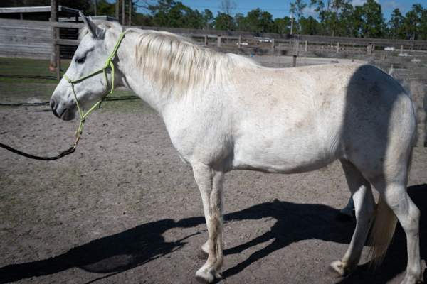Jane Mustang, Mare, Born 2012, 14.3hh Companion Horse Blind