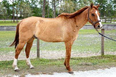 Spice Quarter Horse Born 1995 15HH On Hold